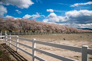 水沢競馬場の桜並木の写真素材 [FYI02950778]