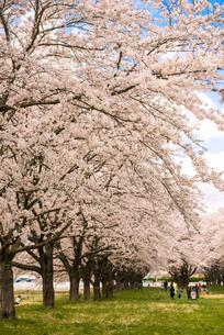 水沢競馬場の桜並木の写真素材 [FYI02950985]