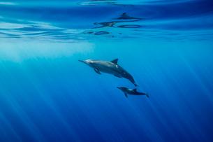 ハワイ島のハシナガイルカの写真素材 [FYI02952234]