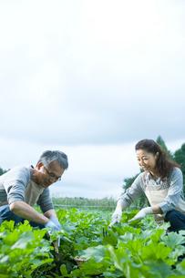 畑仕事をするシニア夫婦の写真素材 [FYI02954042]