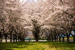 水沢競馬場の桜並木の写真素材 [FYI02957597]
