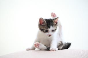 おぼつかない姿勢で毛づくろいする子猫の写真素材 [FYI02958167]