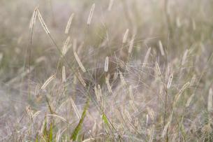エノコログサが生える草原の写真素材 [FYI02958174]