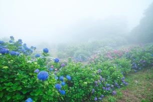笠山観光農園あじさい園の写真素材 [FYI02958444]
