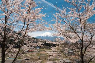 背戸山より望む満開の桜越しの富士山の写真素材 [FYI02958468]