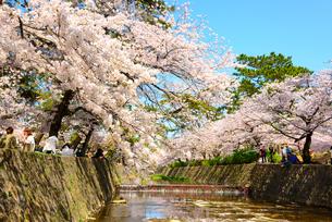 夙川公園の桜並木の写真素材 [FYI02958474]