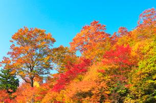紅葉と快晴の青空の写真素材 [FYI02958546]