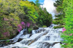 新緑と竜頭の滝に花咲くトウゴクミツバツツジの写真素材 [FYI02958565]