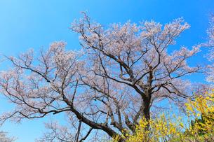 善勝寺桜の写真素材 [FYI02958573]