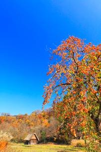 秋の白川郷 柿の木と合掌造り小屋の写真素材 [FYI02958603]