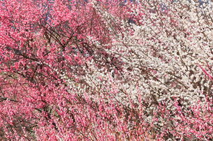 ウメの花の写真素材 [FYI02958611]