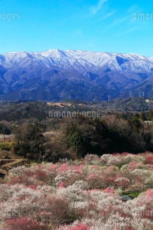 ウメの花と残雪の鈴鹿山脈の写真素材 [FYI02958612]