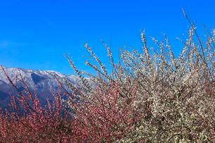 ウメの花と残雪の鈴鹿山脈の写真素材 [FYI02958613]