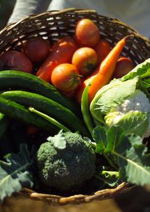 収穫した有機野菜の写真素材 [FYI02959494]