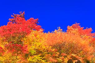 紅葉と快晴の青空の写真素材 [FYI02959555]