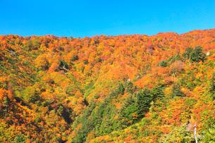 紅葉と快晴の青空の写真素材 [FYI02959557]