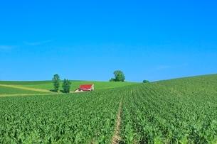 美瑛 赤い屋根の家とトウモロコシ畑の写真素材 [FYI02961257]