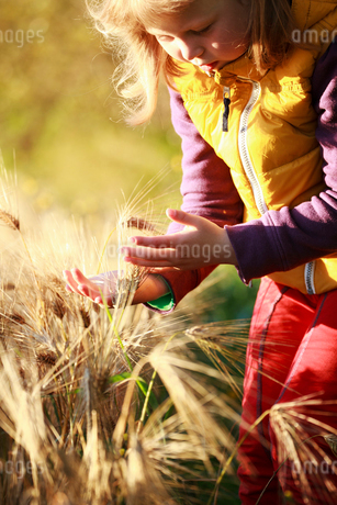 Finland, Pirkanmaa, Ruovesi, Girl (6-7) touching wheat plant in fieldの写真素材 [FYI02961270]