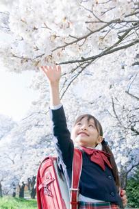 桜に手を伸ばす新入学生の写真素材 [FYI02961342]