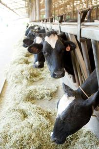 牛舎の牛の写真素材 [FYI02963440]
