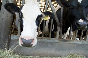 牛舎の中の牛の写真素材 [FYI02963681]