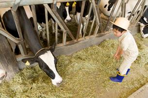 牛舎の牛に干し草を与える男の子の写真素材 [FYI02964206]