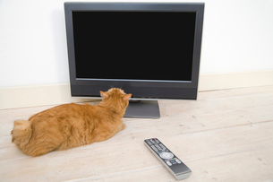テレビを見上げる猫の写真素材 [FYI02964461]