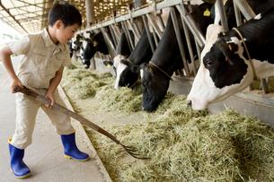 牛舎の牛に干し草を与える男の子の写真素材 [FYI02965006]