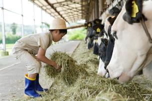 牛舎の牛に干し草を与える男の子の写真素材 [FYI02970536]