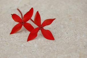 2輪の可愛い赤い花の写真素材 [FYI02974143]