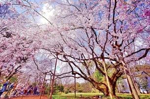 小石川後楽園 枝垂れ桜の写真素材 [FYI02974251]