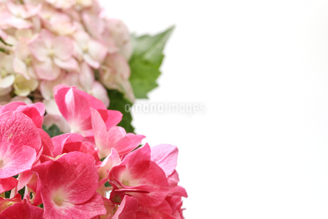 紫陽花の写真素材 [FYI02974290]