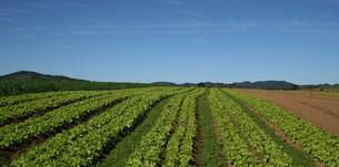 サンパウロ近郊で栽培されているレタスの写真素材 [FYI02974291]