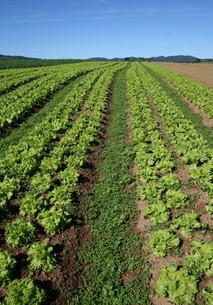 サンパウロ近郊で栽培されているレタスの写真素材 [FYI02974293]