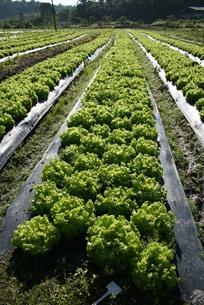 サンパウロ近郊で栽培されているレタスの写真素材 [FYI02974294]