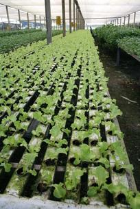 サンパウロ近郊で栽培されているレタスの写真素材 [FYI02974295]