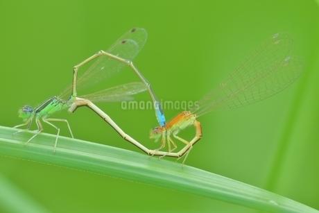 アジアイトトンボの写真素材 [FYI02974302]
