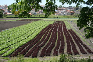サンパウロ近郊で栽培されているレタスの写真素材 [FYI02974303]
