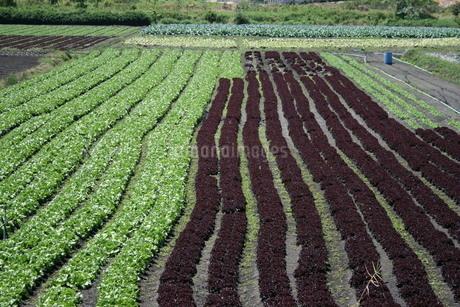 サンパウロ近郊で栽培されているレタスの写真素材 [FYI02974304]