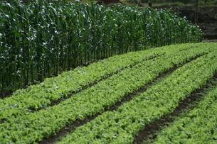 サンパウロ近郊で栽培されているレタスの写真素材 [FYI02974305]