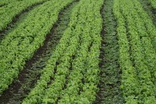 サンパウロ近郊で栽培されているレタスの写真素材 [FYI02974306]