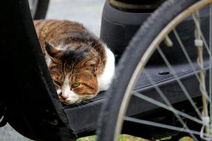 街の駐輪場で休息を取っているひねくれた性格の野良猫の写真素材 [FYI02974516]