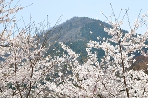 サクラ咲く春の鳥ノ胸山の写真素材 [FYI02974562]
