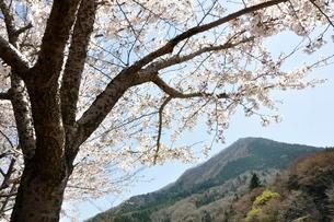 サクラ咲く春の鳥ノ胸山の写真素材 [FYI02974567]