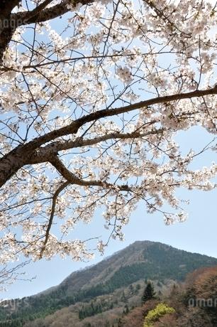 サクラ咲く春の鳥ノ胸山の写真素材 [FYI02974572]