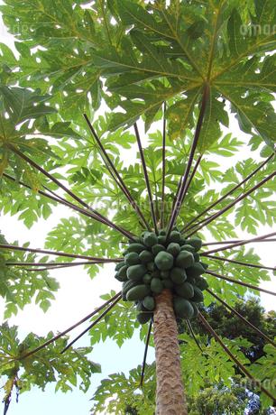 たくさん実がなったパパイヤの木の写真素材 [FYI02974573]