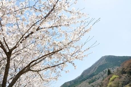 サクラ咲く春の鳥ノ胸山の写真素材 [FYI02974577]