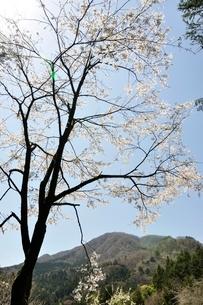 サクラ咲く春の鳥ノ胸山の写真素材 [FYI02974584]