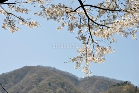 サクラ咲く春の鳥ノ胸山の写真素材 [FYI02974586]