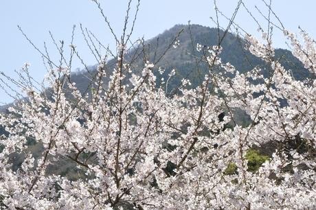 サクラ咲く春の鳥ノ胸山の写真素材 [FYI02974592]
